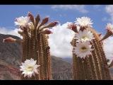 Супер видео. Цветение кактуса. Fantastic beauty! Flowering cactus. Belize.