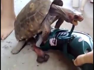 Черепаха трахает сапог. Ахаха. Очень смешно!