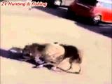 Wolf attacks on people in city  Нападение волков на людей в городе