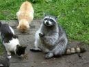 Смешные кошки Часть 214 - Еноты атакуют