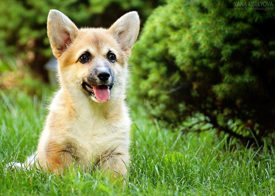 щенок корги