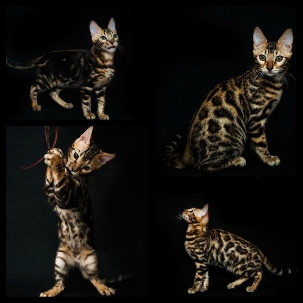 Продается породистый Бенгальский котик  окрас черный мрамор на
