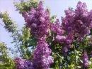 Valsul florilor de liliac
