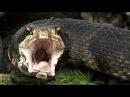 Водяной щитомордник ест гремучую змею