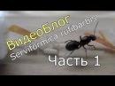 ВидеоБлог Serviformica rufibarbis часть 1 Первые коконы
