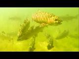 Fishing: trout attack lures / micro - spoons underwater. Форель атакует микро-колебалки.