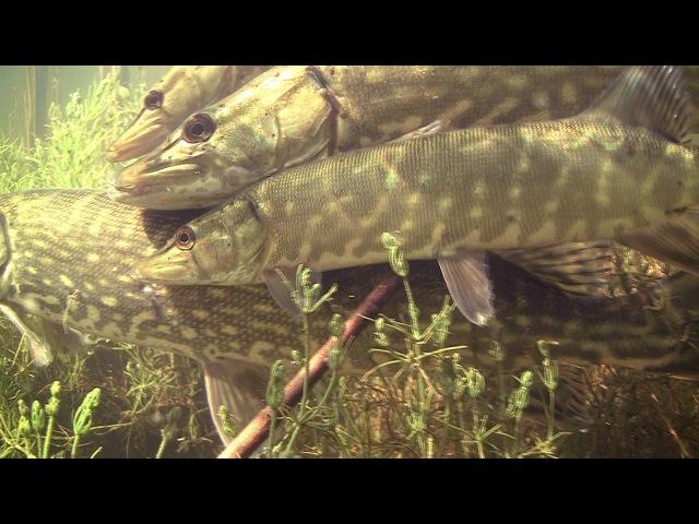 Pike spawning / нерест щуки / tarło szczupaka. Щука szczupak snoek muskie. Underwater stock footage.