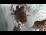 Дакфейс не чужд и жирафам