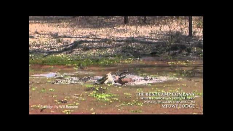 Нильские крокодилы играют с импалой