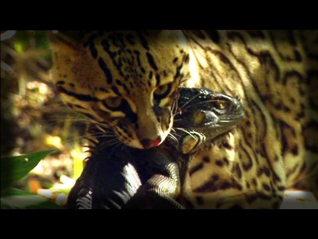 Оцелот убивает игуану