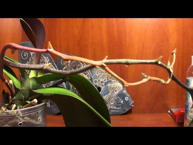 Орхидея отцвела, Обрезка цветоноса у орхидеи Crop orchids peduncle