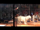 Саид, тигр-альбинос из цирка Максимус.