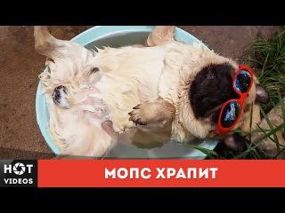 Мопс храпит | Pug snoring... ( HOT VIDEOS | Видео HD )