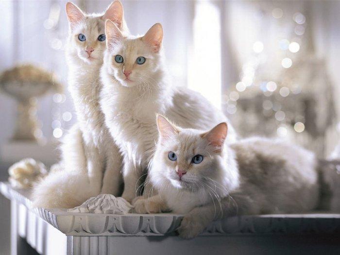 Красивое фото белой кошки - нежность, вдохновение, подборка