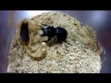 Самка жука Оленя порвала скорпиона