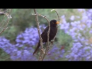 Дрозд чёрный 2 (Turdus merula)