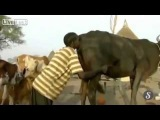 Woman Blows into Cow Anus to Help Boost Milk Yield