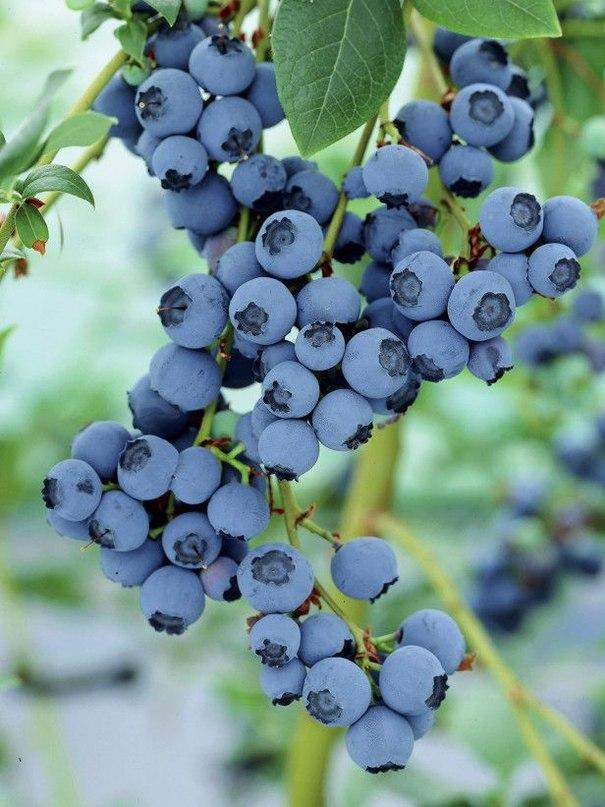 Голубика садовая - посадка, уход, разведение; видео - мастер-класс