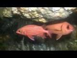 Рыба-белка диадема, Sargocentron diadema