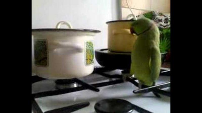 Кеша зеленый попугай хочет есть! Прикол