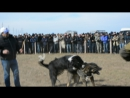 чемпионат калмыкии по тестовым испытаниям среднеазиатских и кавказских волкодавов