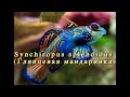 Покупка и содержание глянцевой Мандаринки (Synchiropus splendidus)