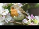 Релаксация под пение птиц Зарянка Малиновка Birdsong Podryga on