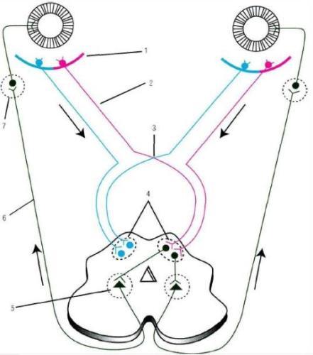 1 - клетки сетчатки глазного