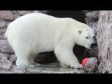 Зачем белому медведю красное яйцо?