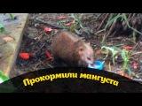 =Кормим мангуста=