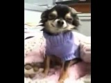 Ржач! Прикольная собачка породы чихуахуа