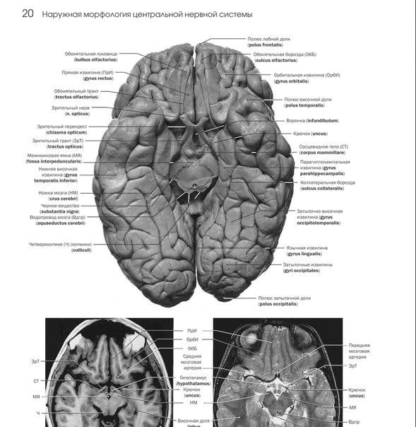Нейроанатомия фото