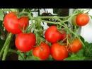 Выращивание помидоров на балконе. GuberniaTV