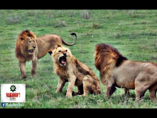 The fact about African Lion; Young lions tend to fight the older male in a pride.