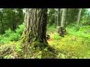 На Аляске егерь выращивает двух маленьких росомах