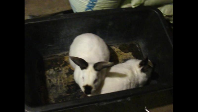 Калифорнийский кролик.Содержание.Спаривание.Фильм №5