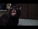 Говорящая кошка!