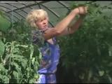 Выращивание поздних помидоров в теплице