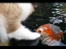 Cute Interaction Between Cat And Koi fish