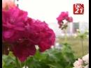 Пеларгонии и фиалки - 370 цветов в одной квартире!