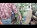 Обрезка молодого саженца яблони. Консультант П.С. Шарков Сайт Садовый мир