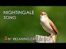 BEST NIGHTINGALE SONG - 3 Hours REALTIME Nightingale Singing, NO LOOP - Birdsong, Birds Chirping