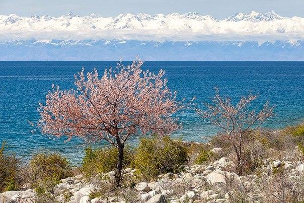 Цветущий абрикос, Киргизия