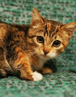 Ищите трехцветного котенка