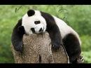 Смешные и милые панды. Кунг-фу Панда.