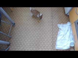 приколы - ржака: щенок джек (парсон) рассел терьер и апельcиновая цедра