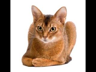 Абиссинская кошка. Абиссинка. Про породы кошек. Abyssinian