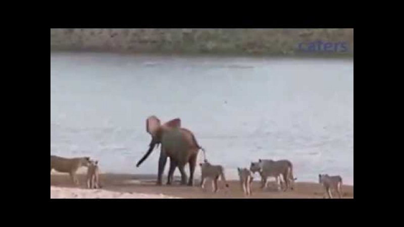 Слоненок отбился от 14 львиц.