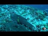 Мир приключений - Остров Кокос Дайвинг с акулами Тигровая акула. Hammerhead tiger shark Cocos ...