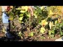Обрезка ягодных кустарников осенью